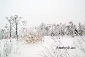 Борщевик зимой