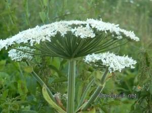 Борщевик цветение