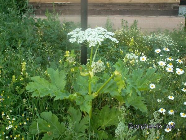 Борщевик Сосновского гигантское зонтичное растение