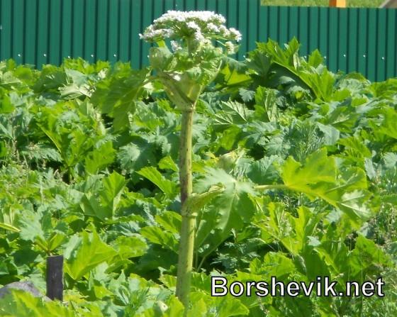 Борщевик сосновского